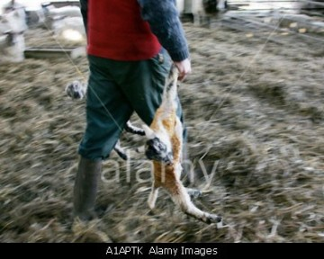 Two newborn lambs being taken away by a farmer.