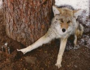 coyote-in-leg-hold-300x213-321x250