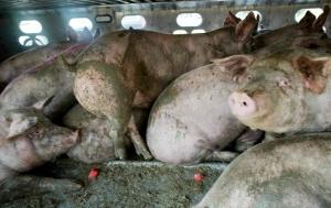 I maiali sono naturalmente tra gli animali più puliti che possiamo incontrare, eppure vengono normalmente costretti a vivere tra i propri escrementi.