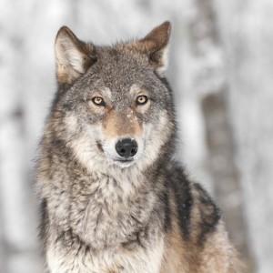 i lupi e le altre specie a rischio di estinzione